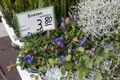 新鲜的多年生植物开花植物enzian在aut的一个街市上 免版税库存照片