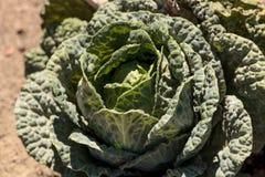 新鲜的大白菜在一个小有机农场增长 库存图片