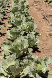 新鲜的大白菜在一个小有机农场增长 免版税库存图片