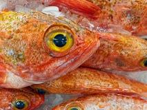 新鲜的大眼睛海洋栖息处,悉尼鱼市,澳大利亚 免版税库存图片