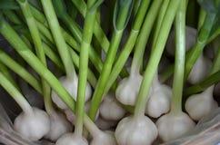 新鲜的大蒜在新罕布什尔在农厂停留演出地 免版税库存图片