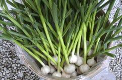 新鲜的大蒜在新罕布什尔在农厂停留演出地 库存图片