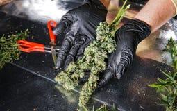 新鲜的大麻芽供以人员手 新大麻收获 免版税库存照片