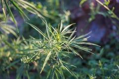 新鲜的大麻增长 免版税库存照片