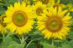 新鲜的太阳开花种植园 库存图片