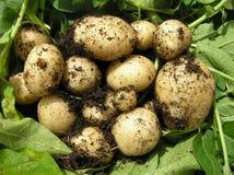 新鲜的嫩马铃薯 库存照片
