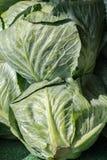新鲜的家种的圆白菜 免版税库存图片