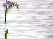 新鲜的小苍兰花的枝杈 库存图片