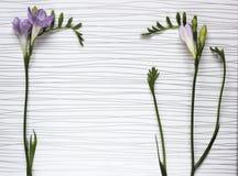 新鲜的小苍兰花的枝杈 免版税库存照片