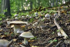 新鲜的小蘑菇在一个深森林里 免版税库存照片