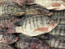 新鲜的尼罗罗非鱼鱼在鱼市上 图库摄影