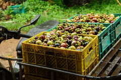 新鲜的山竹果树;异乎寻常的果子在泰国 库存图片