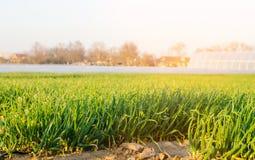 新鲜的年轻葱在行的领域,农业,好收获,葱种子增长,种田 免版税库存图片