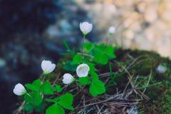 新鲜的幸运的绿色在的三叶草三片叶和白花为 免版税库存图片