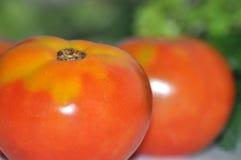 新鲜的庭院蕃茄 免版税库存照片