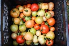 新鲜的庭院蕃茄 库存照片