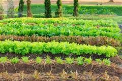 新鲜的庭院莴苣 库存照片