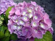 新鲜的开花八仙花属花 图库摄影