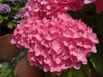 新鲜的开花桃红色八仙花属花 图库摄影