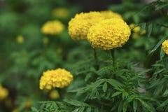 新鲜的开花的万寿菊花在有绿色自然bac的一个庭院里 免版税库存照片