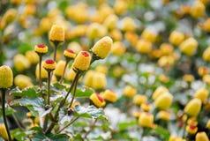 新鲜的开花的巴拉水芹植物,Spilanthes oleracea 免版税图库摄影