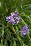 新鲜的开花的社团大蒜 库存图片