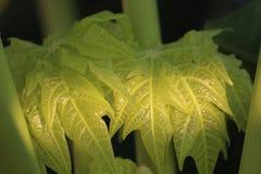新鲜的微型绿色叶子 免版税库存图片