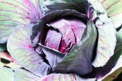 新鲜的成熟圆白菜 图库摄影