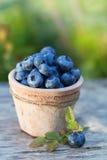 新鲜的成熟蓝莓庄稼在庭院里 库存图片