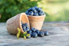 新鲜的成熟蓝莓庄稼在庭院里 库存照片