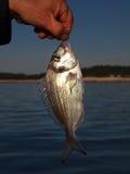 新鲜的抓住鱼 免版税库存图片