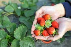 新鲜的摘的草莓 免版税库存图片