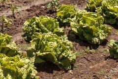 新鲜的散叶莴苣在一个小有机农场增长 免版税库存图片