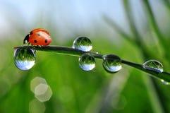新鲜的早晨露水和瓢虫 免版税库存图片