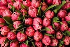 新鲜的明亮的桃红色郁金香有绿色叶子自然春天背景 花纹理 库存照片
