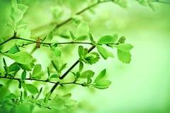 新鲜的春天叶子 库存照片