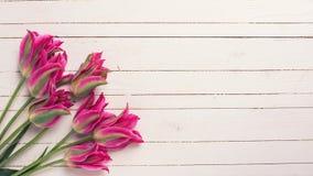 新鲜的春天桃红色郁金香 库存照片