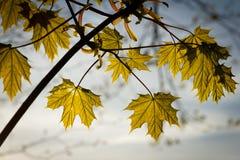 新鲜的春天槭树叶子 库存照片