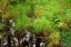 新鲜的春天沼泽草在新英格兰沼泽 图库摄影