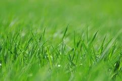 新鲜的春天草 库存图片