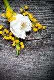新鲜的春天郁金香和含羞草接近在老灰色木板 免版税库存照片