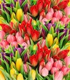 新鲜的春天郁金香 多色花花束与水博士的 免版税库存图片