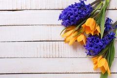新鲜的春天黄色郁金香和蓝色风信花开花 库存照片