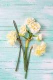 新鲜的春天黄色水仙在被绘的绿松石开花求爱 免版税库存照片