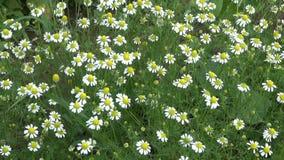 新鲜的春黄菊开花在夏天 股票视频