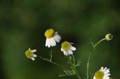 新鲜的春黄菊 库存图片