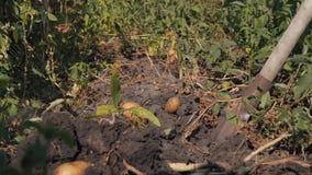 新鲜的有机土豆,收获从土壤的农夫清洁在领域的土豆 影视素材