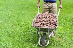 新鲜的有机土豆 免版税库存图片
