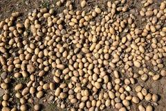 新鲜的有机土豆 免版税库存照片
