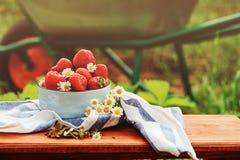 新鲜的有机家庭成长草莓在夏天在有独轮车的板材从事园艺在背景 库存图片
